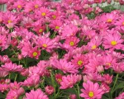 Pink Easter Mum