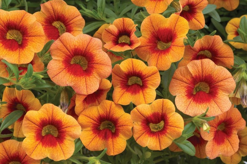 Calibrachoa-Orange