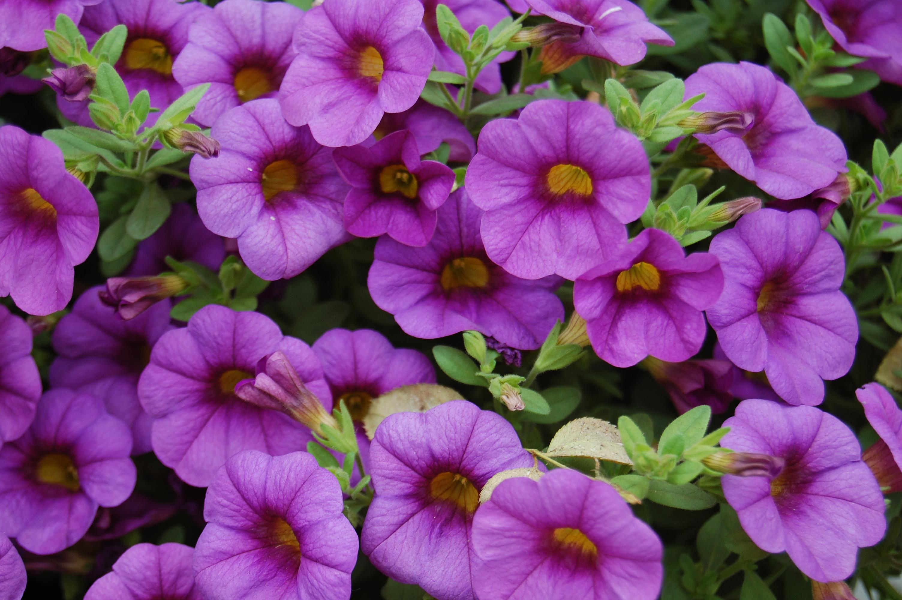 Calibrachoa-Purple
