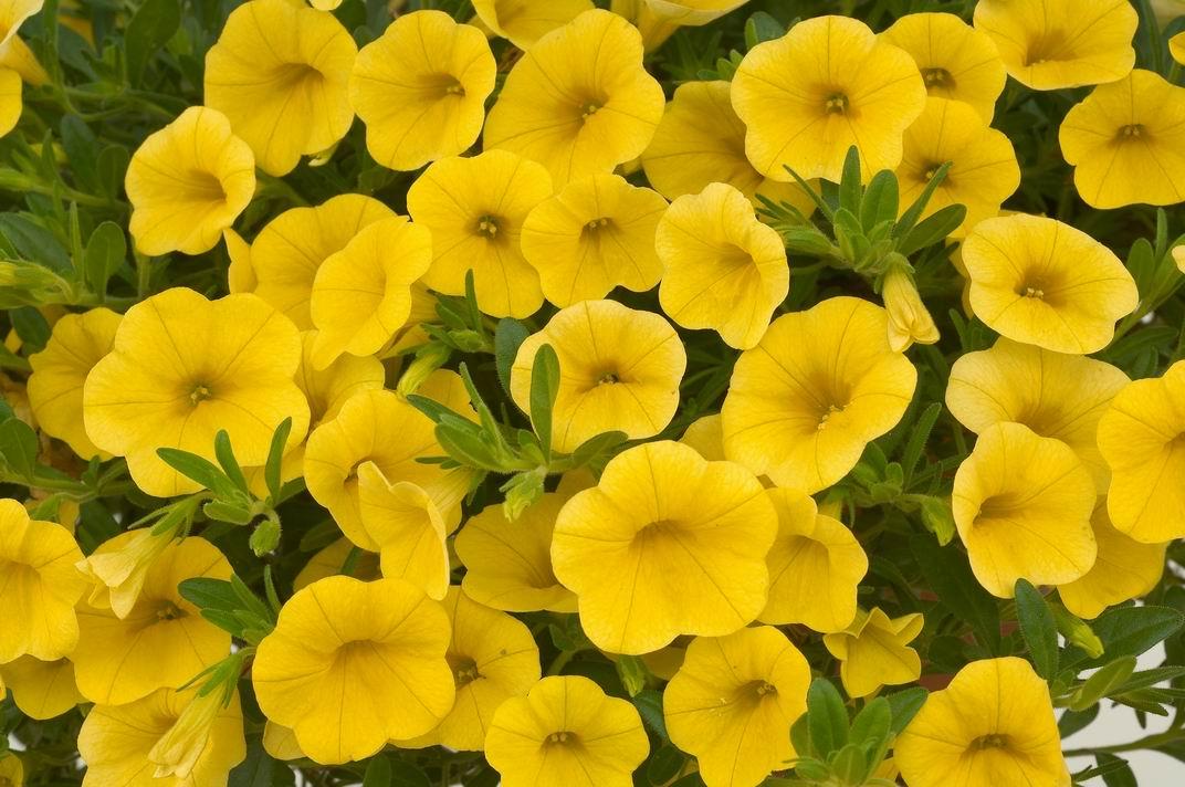 Calibrachoa-Yellow