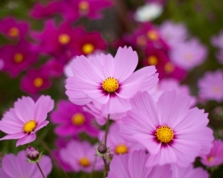 Cosmos-Pink