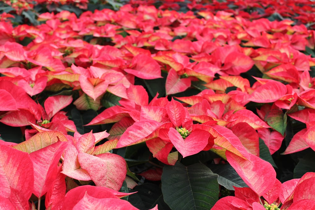 Poinsettias""